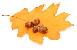 Oak leaf and acorns Royalty Free Stock Photos