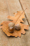 Oak Leaf and Acorns. In autumn Royalty Free Stock Images