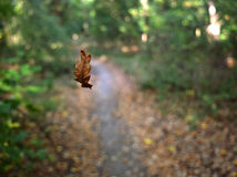 Oak leaf in the air Royalty Free Stock Photo