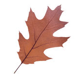 Oak leaf as autumn symbol Stock Images
