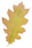 Oak leaf as autumn symbol Stock Photos
