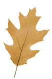 Oak leaf as autumn symbol Royalty Free Stock Image