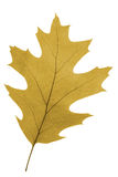 Oak leaf as autumn symbol Royalty Free Stock Photography