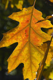 Oak Leaf in Autumn Stock Image