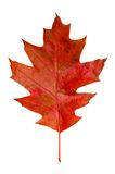 Oak leaf. Autumn red oak leaf isolated on white background Royalty Free Stock Photos