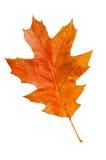 Oak leaf Stock Image