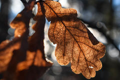 Oak leaf. And autumn sunshine Stock Images