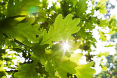 Oak leaf background. Bright sunlight flaring through the leaves of an oak tree Royalty Free Stock Photos