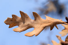 Oak leaf. And blue sky background Royalty Free Stock Image