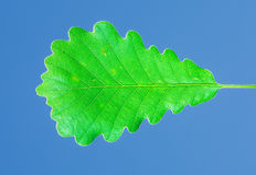 Oak leaf on blue sky Royalty Free Stock Image