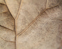 Oak leaf, brown, extreme closeup or macro, veins showing Stock Image