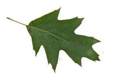 Oak leaf Stock Photography
