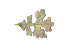 Oak Leaf. Close up of solitary green and brown oak leaf Stock Photo