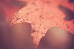 Oak Leaf Closeup Royalty Free Stock Image
