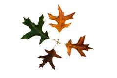 Oak leaf color changes Royalty Free Stock Photos