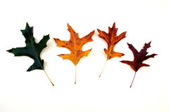 Oak leaf color changes Stock Photography