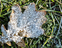 Oak leaf with crystals of rime Stock Photos