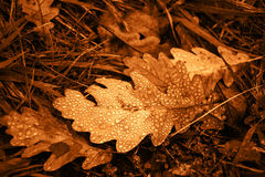 Oak leaf with dew drops. Vintage golden effect. Royalty Free Stock Images