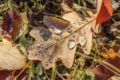 Oak leaf Stock Photo