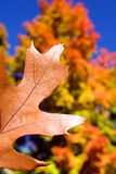 Oak Leaf in Fall. Detail of oak leaf in fall with colorful Maple tree in background Royalty Free Stock Images