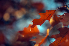 Oak leaf farewell. Stock Images