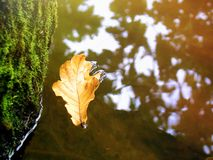 An oak leaf fell from a tree into the river royalty free stock images