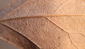 Oak leaf, golden, extreme closeup or macro, veins showing Stock Image
