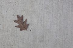 Oak Leaf on Gray Concrete Background Royalty Free Stock Photography