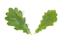 Oak leaf. Oak green leaf isolated on white background Stock Photography