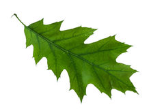 Oak leaf Royalty Free Stock Images