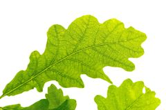 Oak Leaf, Green, Tree Leaf Royalty Free Stock Photos