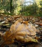 Oak leaf on ground Stock Photo