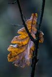 Oak leaf. Hanging on a branch Stock Image