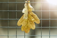 Oak leaf hangs on the fence royalty free stock photos