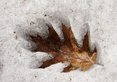 Oak Leaf in the Ice. An oak leaf melting into the ice stock images