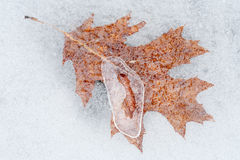 Oak Leaf in Ice Royalty Free Stock Images