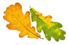 Oak leaf isolated Royalty Free Stock Photography