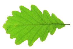 Oak leaf. Isolated against a white background (Quercus robur Stock Images
