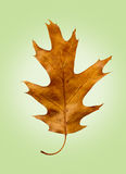 Oak Leaf on Isolated Green Retro Background Royalty Free Stock Photography