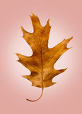 Oak Leaf on Isolated Rose Retro Background Royalty Free Stock Photo