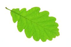 Oak leaf. Oak leaves isolated against a white background (Quercus robur Royalty Free Stock Images