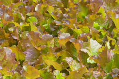 Oak Leaf Lettuce Royalty Free Stock Photography