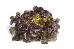 Free Oak Leaf Lettuce Stock Photography - 19819012