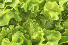 Oak leaf lettuce closeup as background Stock Photography