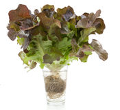 Oak leaf lettuce isolated Stock Image