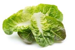 Oak Leaf lettuce isolated on white background. Royalty Free Stock Photos