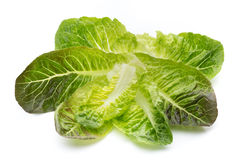 Oak Leaf lettuce isolated on white background. Stock Image