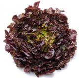 Oak leaf lettuce Stock Image