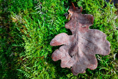 Oak leaf. And moss background Stock Photos