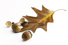 Oak leaf and nuts in autumn Royalty Free Stock Images